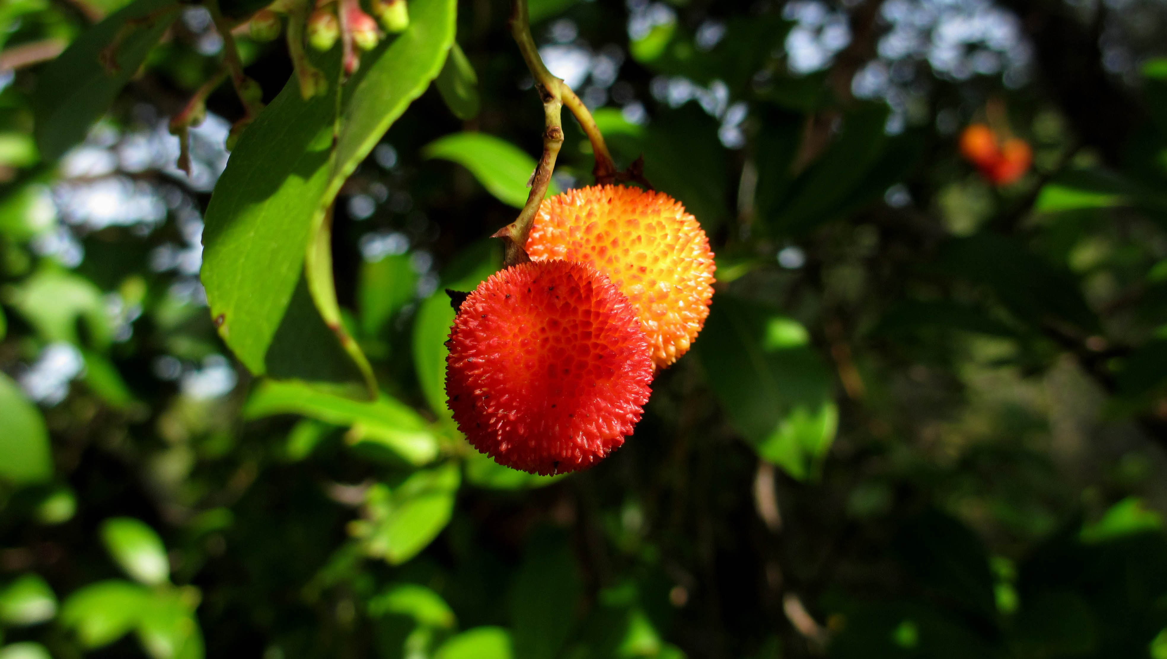 Genetic diversity of <i>Arbutus unedo</i>