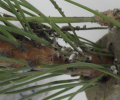 Larvas mortas com fungos - Autor da foto: Investigador Hugo Gonçalves