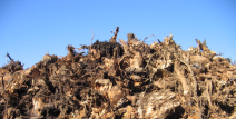 Equipa de investigadores CEF realiza primeira análise à composição da casca dos cepos de eucalipto