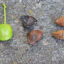 drupas verde e madura, e sementes